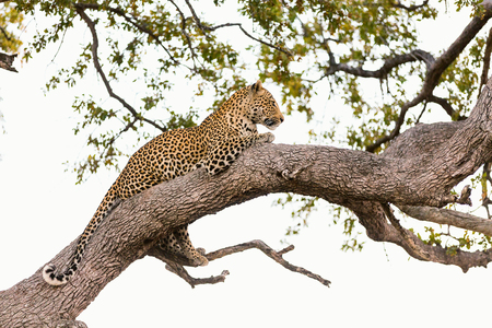 南アフリカの木に美しい雄ヒョウ