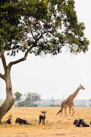 Giraffe in Masai Mara safari park in Kenya Africa Stock Photo