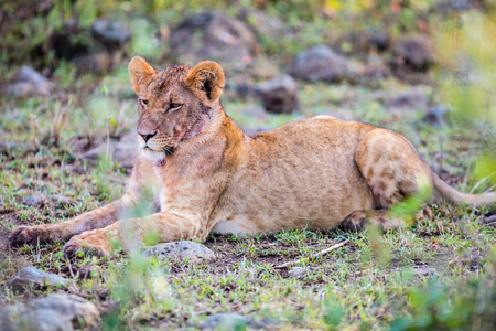 Young lion in national reserve in Kenya Фото со стока