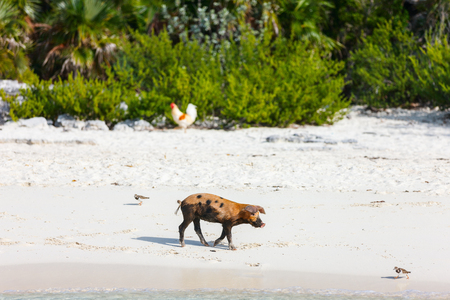 Little piglet at beach on Exuma island Bahamas