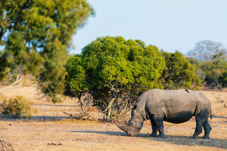 White rhino grazing in safari park in South Africa