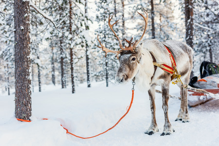 Reindeer safari in a winter forest in Finnish Lapland