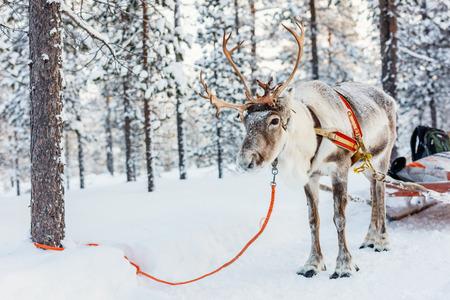 Renifer safari w lesie zimą w fińskiej Laponii