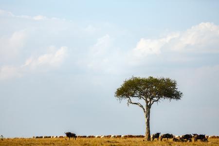 Masai Mara 케냐의 아카시아 나무 아래에있는 Wildebeests