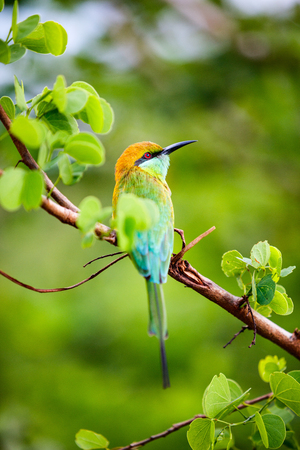 スリランカ・ウダワラウェ国立公園のライラック胸ローラー(コラティアス・カウデータ)