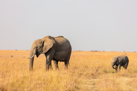 Elephants in safari park in Kenya Africa Stock fotó - 96035726