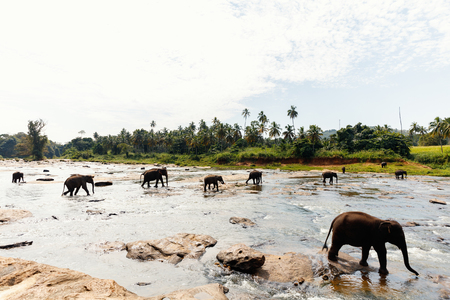 Sri Lankan wild elephants at riverbed drinking water 写真素材