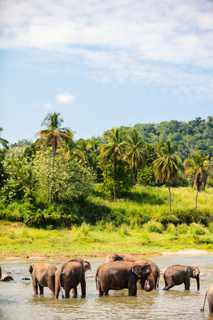 Sri Lankan wild elephants at riverbed drinking water Stock Photo