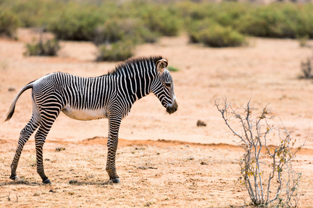 Grevys baby zebra in Samburu national reserve in Kenya Stok Fotoğraf