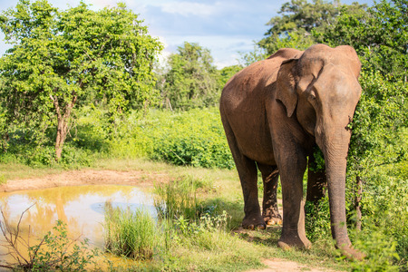 Sri Lankan wild elephant in safari national park
