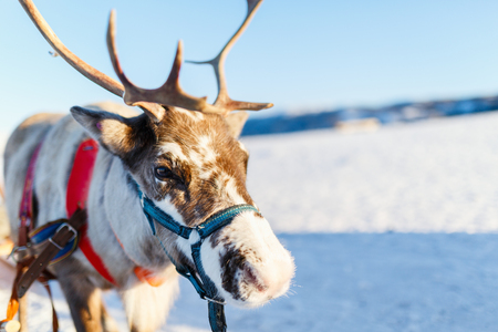 Close up of reindeer pulling a sledge Northern Norway on sunny winter day Stok Fotoğraf - 97958952