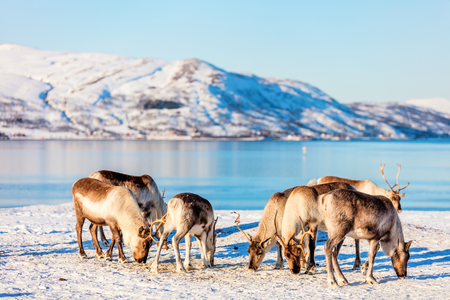 Reindeer in Northern Norway with breathtaking fjords scenery on sunny winter day