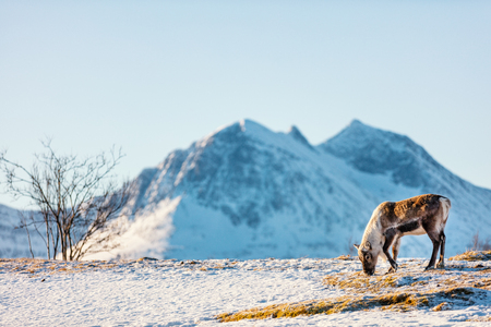 Wild male reindeer in Northern Norway