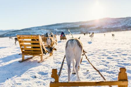 Reindeer safari on sledge on sunny winter day in Northern Norway Stok Fotoğraf