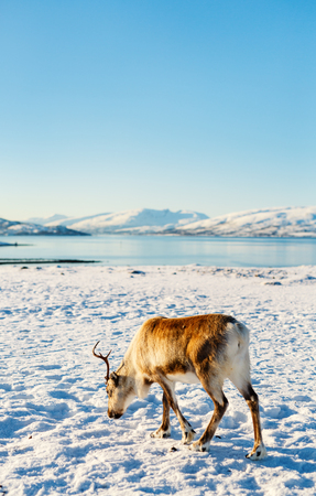 Reindeer in Northern Norway on sunny winter day Stock Photo