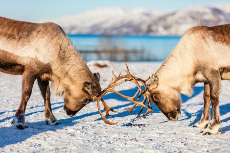 晴れた冬の日にノルウェー北部で戦うトナカイをクローズアップ