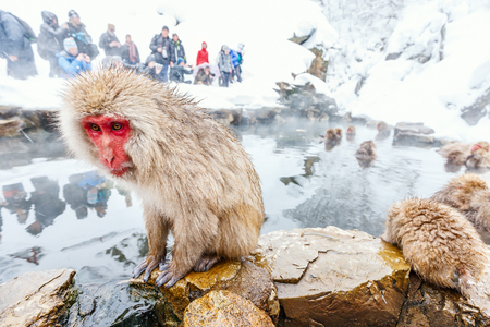 Snow Monkeys Japanese Macaques bathe in onsen hot springs of Nagano, Japan 写真素材