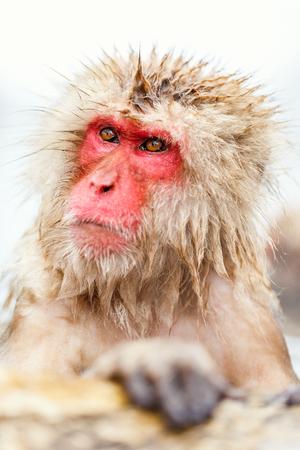 Snow Monkeys Japanese Macaques bathe in onsen hot springs of Nagano, Japan Stock Photo