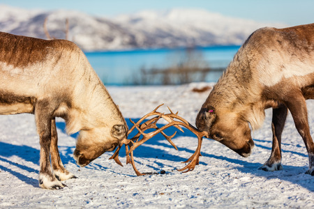 Close up reindeer fighting in Northern Norway on sunny winter day