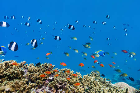 Beautiful colorful coral reef and tropical fish underwater in Maldives