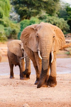 Close up of elephants in safari park Stock fotó - 99079756