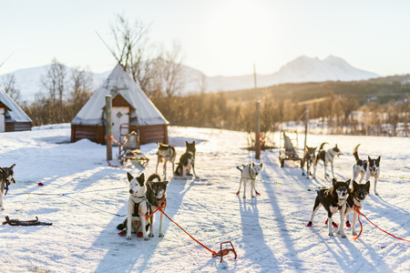 Husky kennel visit in Northern Norway Standard-Bild