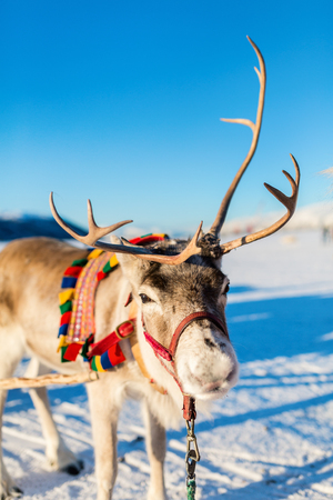 Close up of reindeer pulling a sledge Northern Norway on sunny winter day