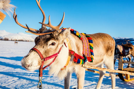 Close up of reindeer pulling a sledge Northern Norway on sunny winter day Zdjęcie Seryjne - 99853951