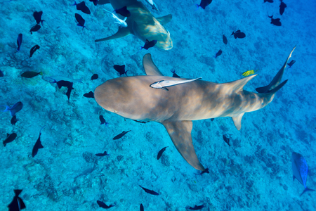 Lemon shark swims among fish in Pacific ocean Stock Photo