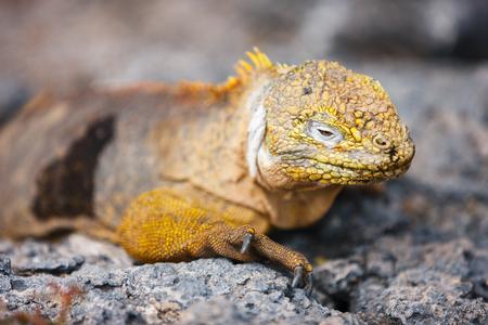 Land iguana endemic at the Galapagos islands, Ecuador 스톡 콘텐츠
