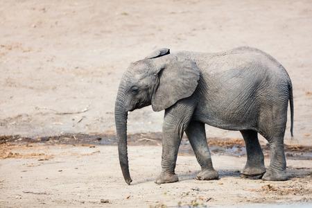 Close up of baby elephant in safari park Фото со стока