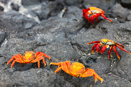 Sally lightfoot crabs on a black lava rock