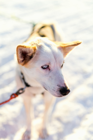Husky kennel visit in Northern Norway Stock Photo