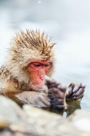 Snow Monkey Japanese Macaques bathe in onsen hot springs at Nagano, Japan