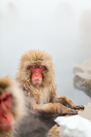 Snow Monkeys Japanese Macaques bathe in onsen hot springs of Nagano, Japan 版權商用圖片