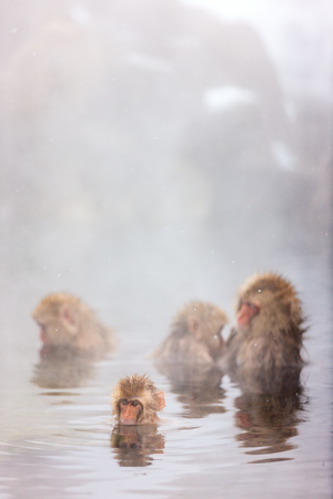 Snow Monkeys Japanese Macaques bathe in onsen hot springs of Nagano, Japan Imagens