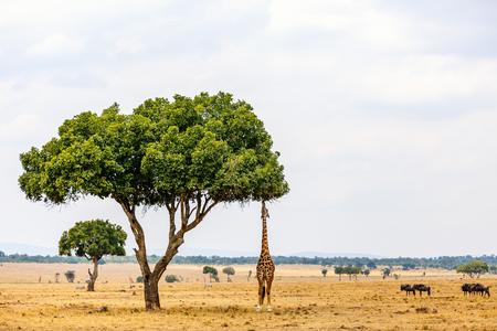 Jirafa en el parque safari de Masai Mara en Kenia África Foto de archivo