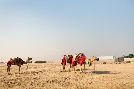 Camels in Qatar desert