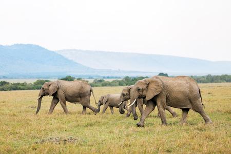 Elephants in safari park in Kenya Africa Stock fotó - 102213576