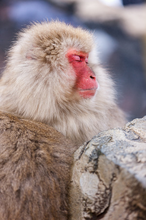 Male snow monkeys Japanese macaque bathe in onsen hot springs of Nagano, Japan Stock Photo