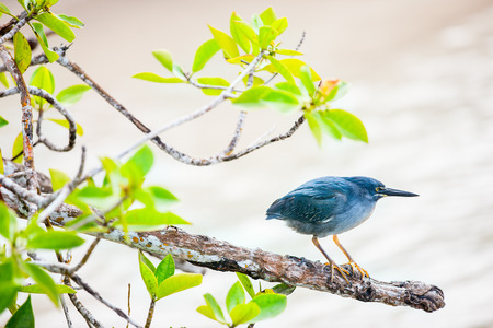 Striated heron also known as mangrove heron in Galapagos islands 스톡 콘텐츠