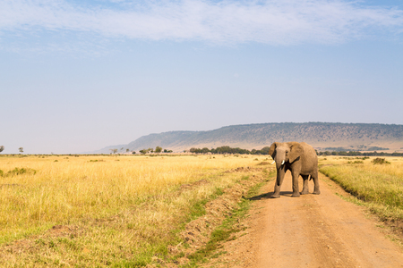 Elephant in safari park in Kenya Africa