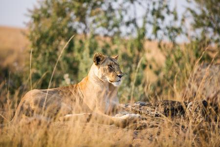 León hembra en reserva nacional en Kenia Foto de archivo