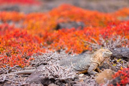 Land iguana endemic to the Galapagos islands, Ecuador hiding in succulent sesuvian grass