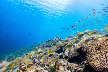 Beautiful colorful coral reef and tropical fish underwater in St Lucia Caribbean Banco de Imagens