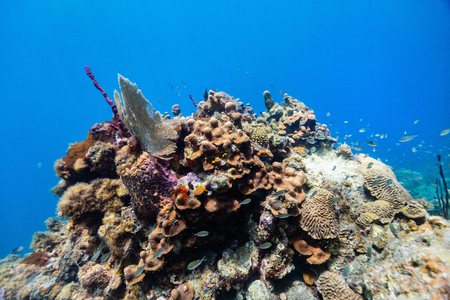Beautiful colorful coral reef and tropical fish underwater in St Lucia Caribbean Stok Fotoğraf