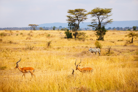 Group of impala antelopes and zebras in Masai Mara safari park in Kenya