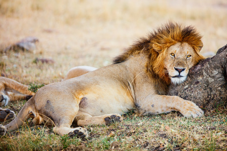 Male lion lying in grass in savanna in Africa Stock Photo