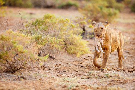Lioness carrying cub in her mouth in national reserve in Kenya