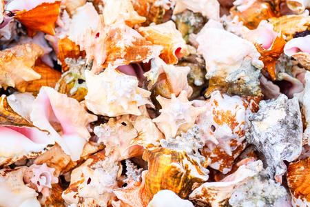 Many beautiful conch shells 版權商用圖片